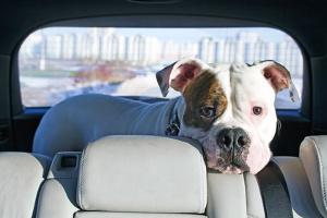 Beim Fahrzeug ist die Innenaufbereitung besonders wichtig, wenn Sie Tiere transportieren.