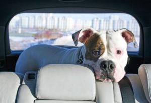 Ledersitze im Auto werden nicht nur von Menschen als komfortabel wahrgenommen.